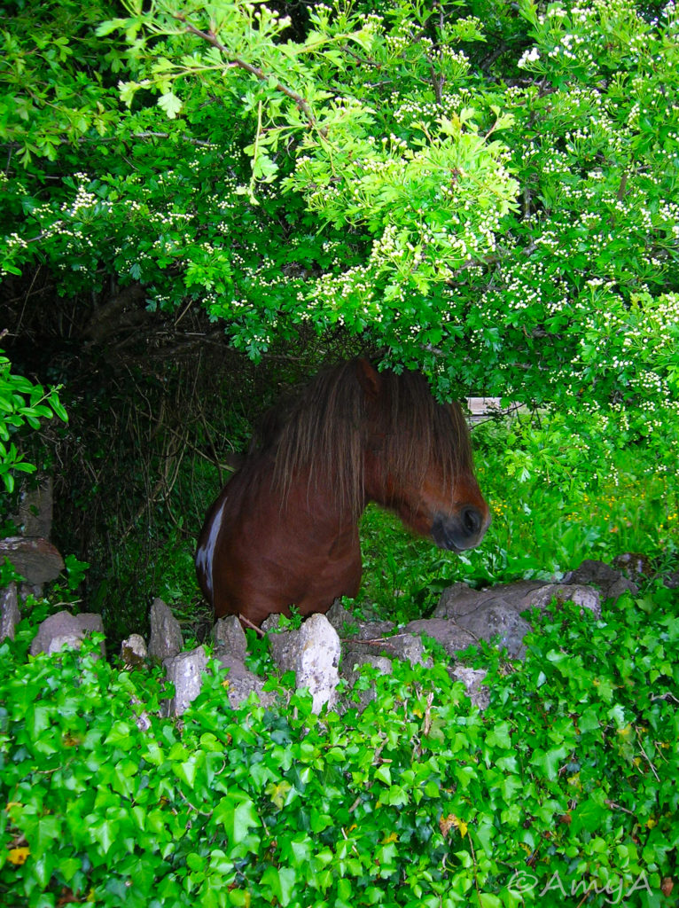 A little horse in Kenmare, Ireland.